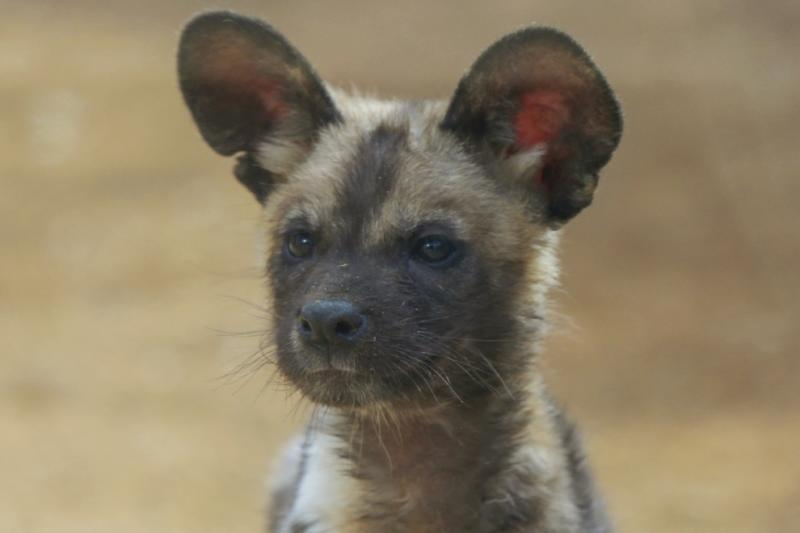 Wild African dog pup at Denver Zoo