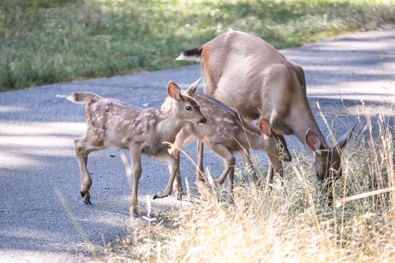 Mother deer with two babies