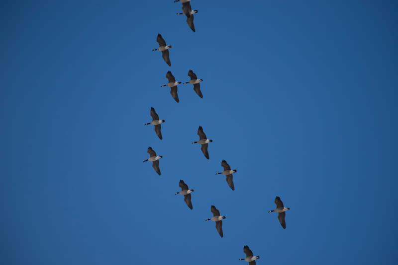 Spring Bird Migration - Fairbanks Alaska