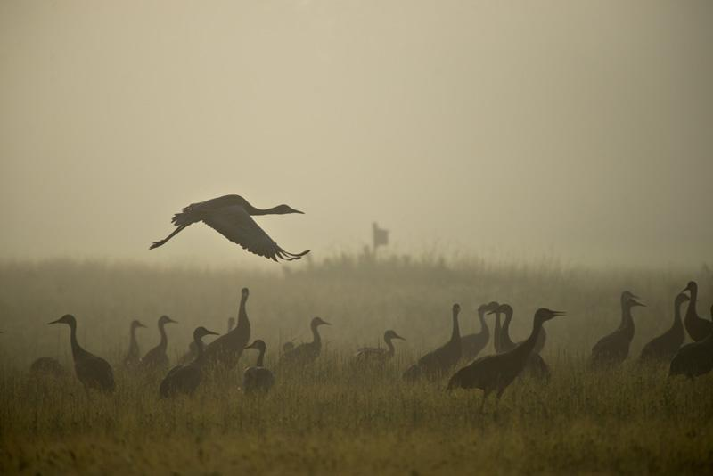 Cranes Spring Migration   Fairbanks, Alaska
