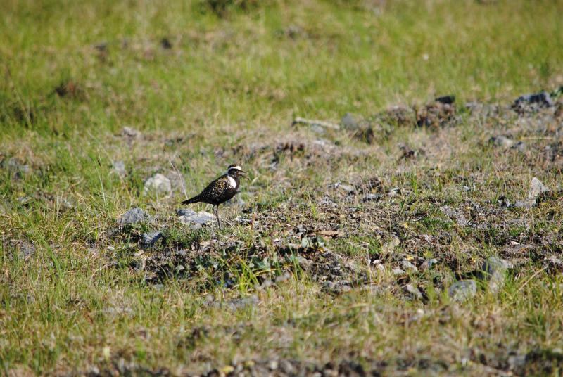 American Golden Plover - Alaska - Western Alaska Parklands