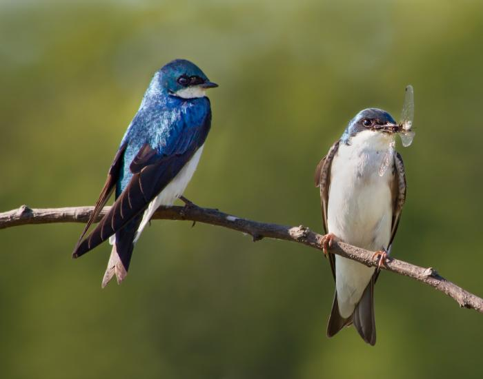 Tree Swallows perch on a branch at Millennium Park, Grand Rapids