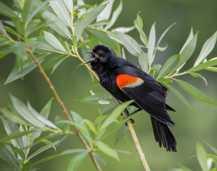 A Red-winged Blackbird sings at Waterfront Park at Reeds Lake
