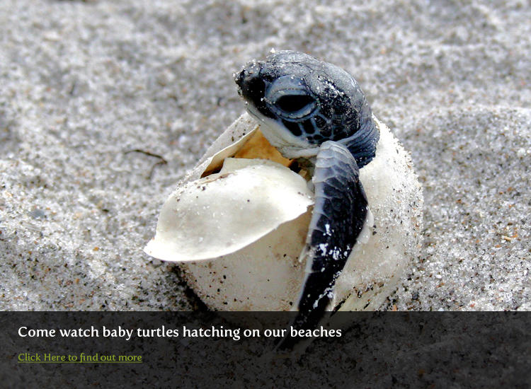 Hatching Sea Turtle
