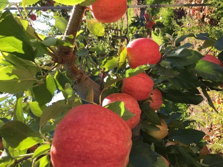 Apples growing on tree