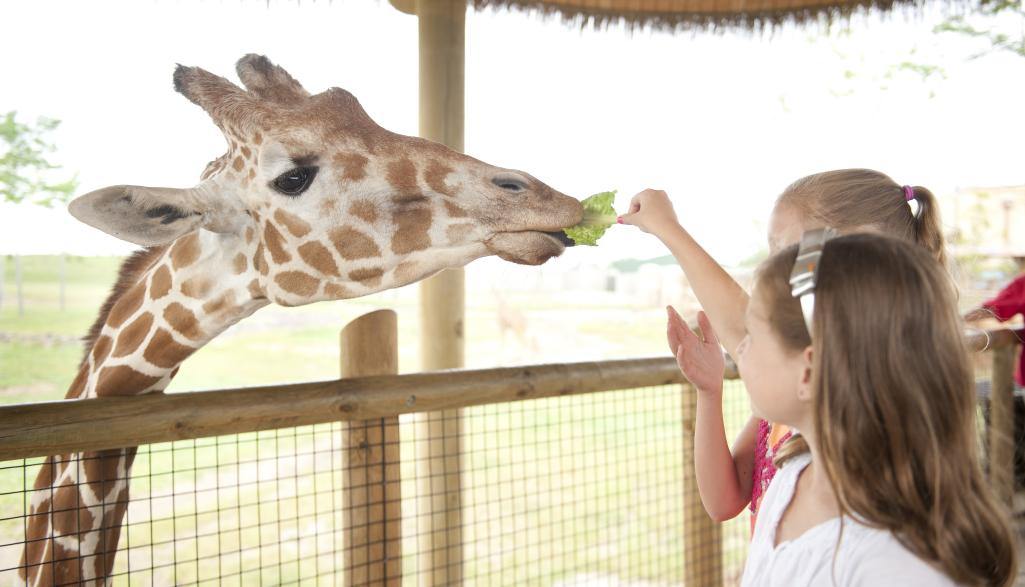 Heart of Africa giraffe feeding