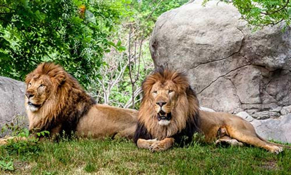Lions at Franklin Park Zoo