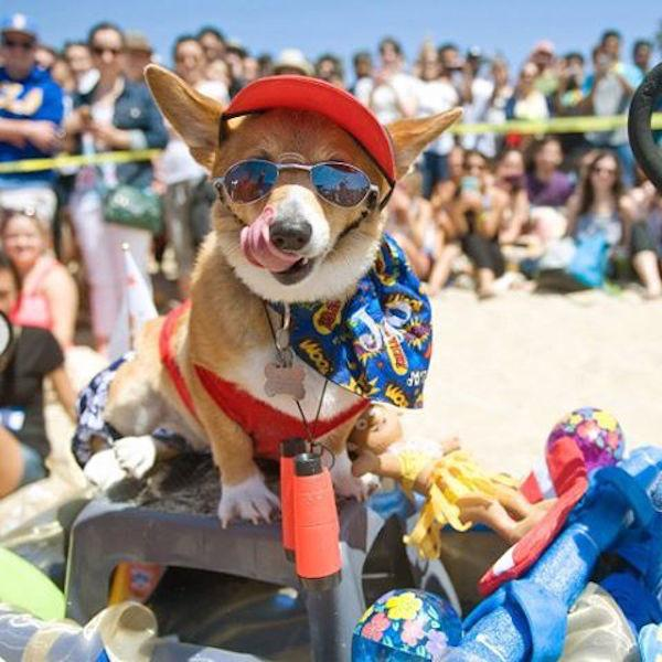 Corgi Kissing Booth photo by @socalcorgibeachday