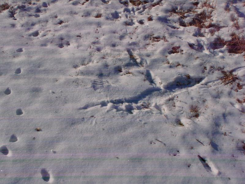 Here, you can see markings in the snow where a raptor scooped up a smaller bird for dinner. Credit: David Mow