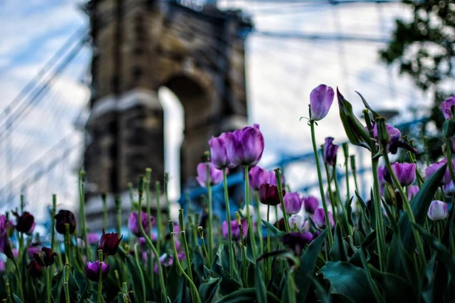 Purple tulips in the foreground with the Roebling Suspension Bridge in the background