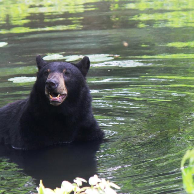 Maymont Wildlife Exhibits Black Bear