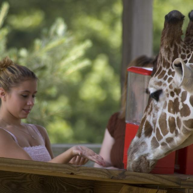 Metro Richmond Zoo Giraffe Feeding Close