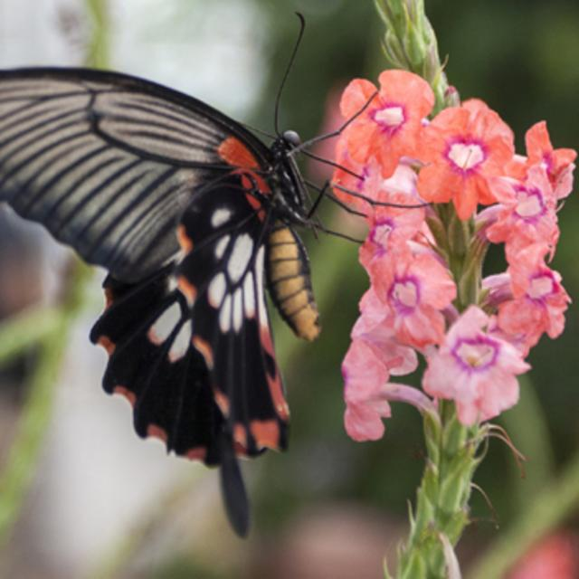 great morman butterfly from butterflies live!