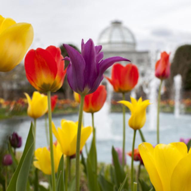 Tulips and Conservatory at Lewis Ginter Botanical Garden