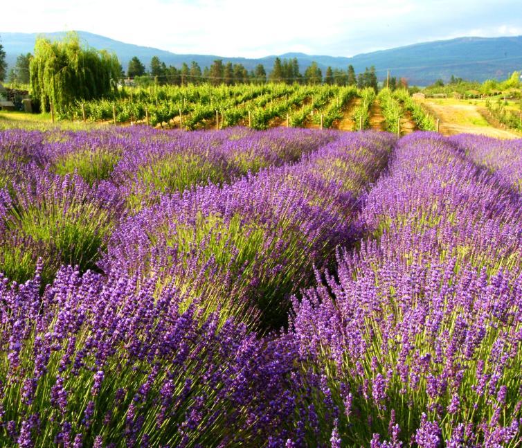 Rows of lavender under the Okanagan Sun