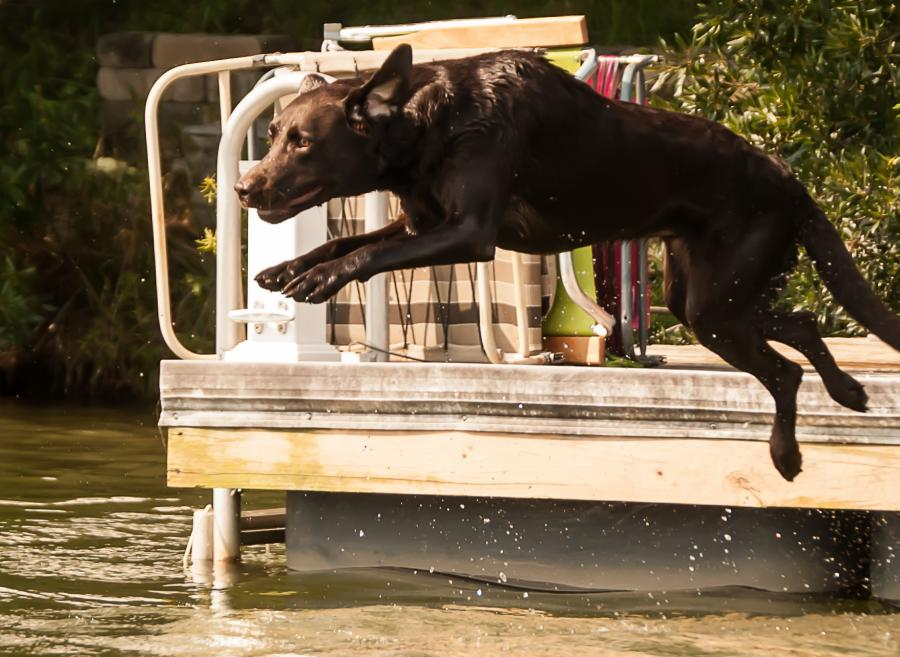 Dog jumping off of boat dock into lake