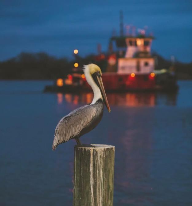 #VisitLakeCharles Photo of the Month | Pelican by Kristie Ford