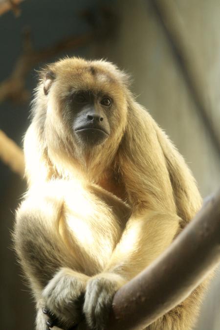 Howler Monkey RWP Zoo