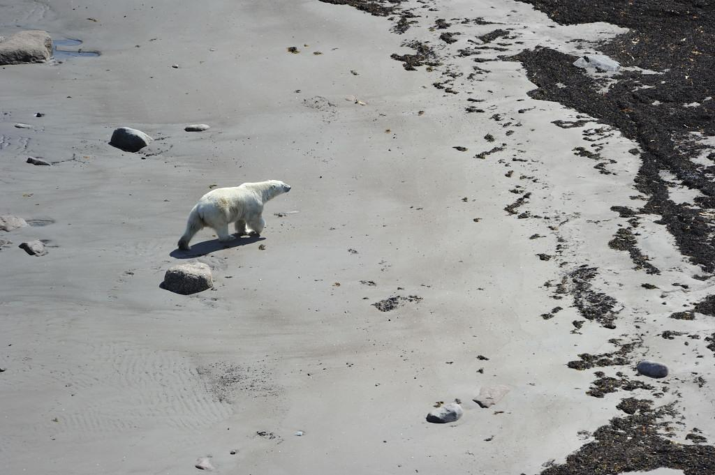 Polar bear viewing from above