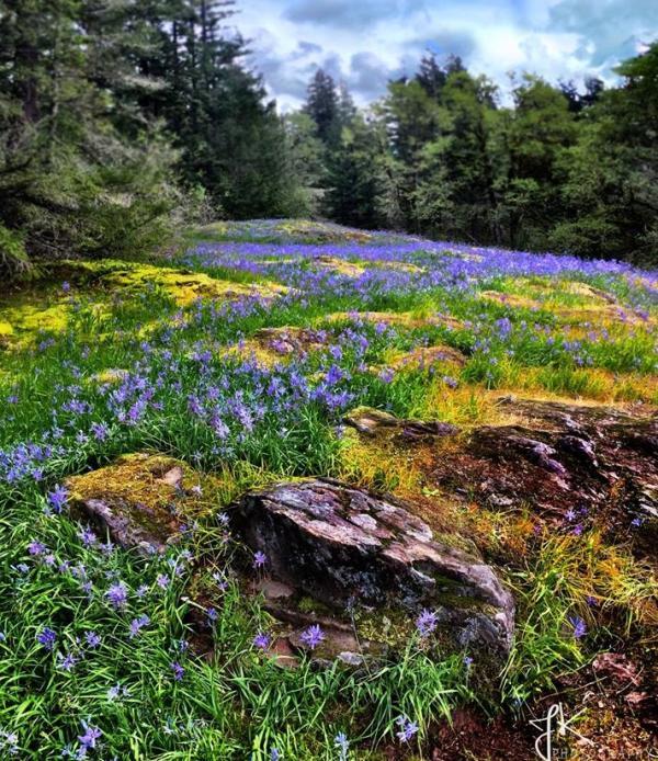 Lacamas Lily Fields