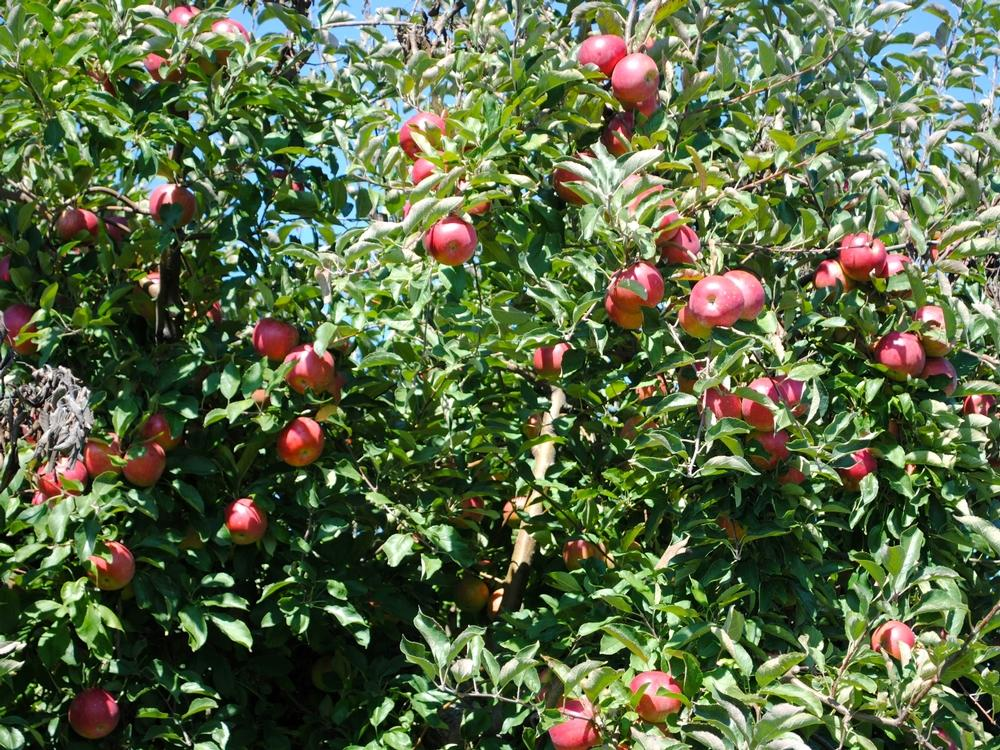 Beasley's Orchard