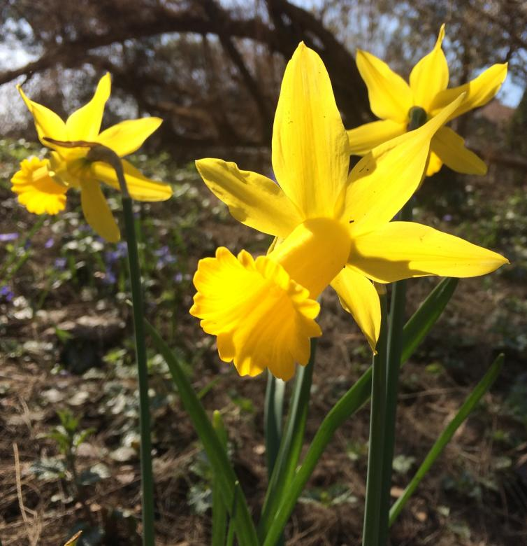 Daffodils flowers in Kelowna