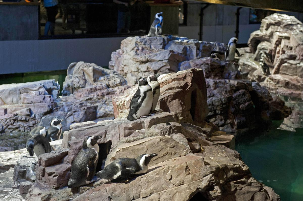 African Penguins at the New England Aquarium
