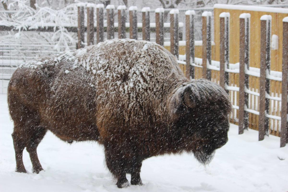 elmwood park zoo snow bison