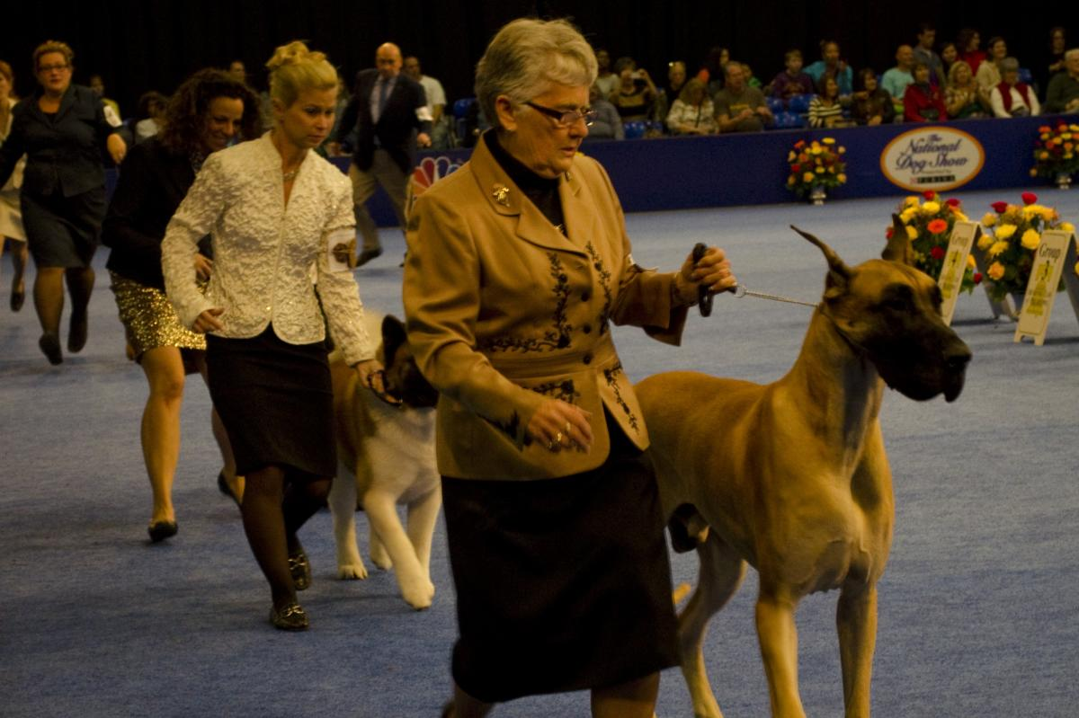 Handlers show their dogs to the judges at the National Dog Show.