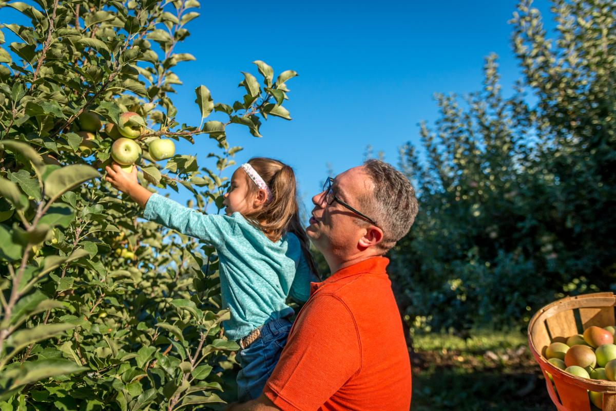 Harvesting Apples at Strites Orchard