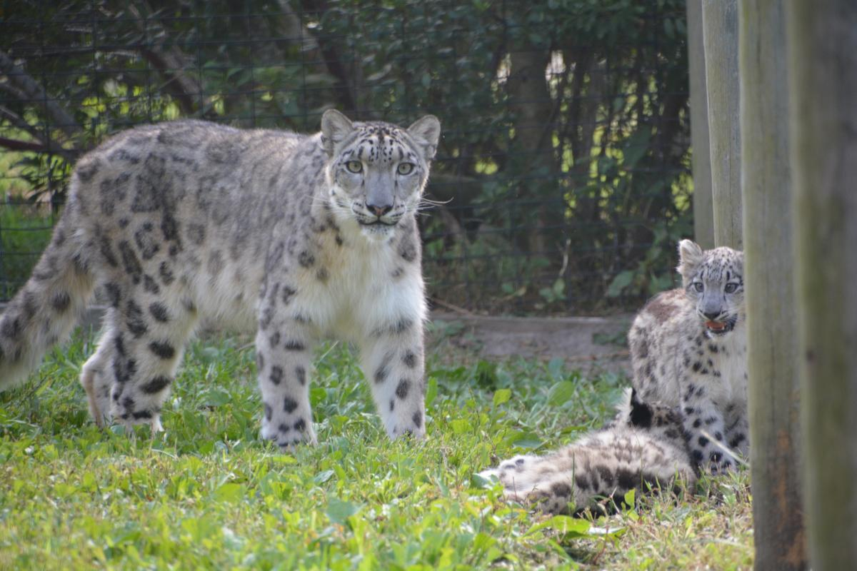 Metro Richmond Zoo snow leopards