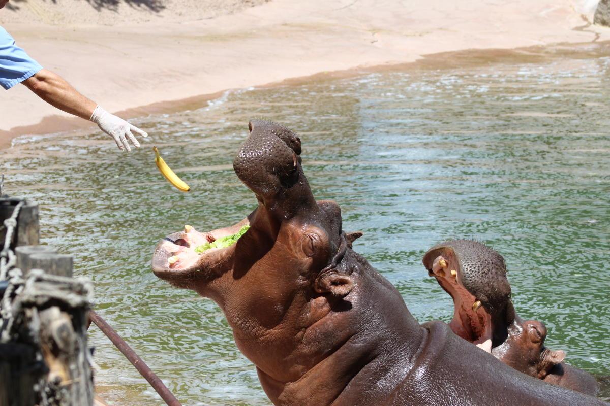 ABQ BioPark Hippos