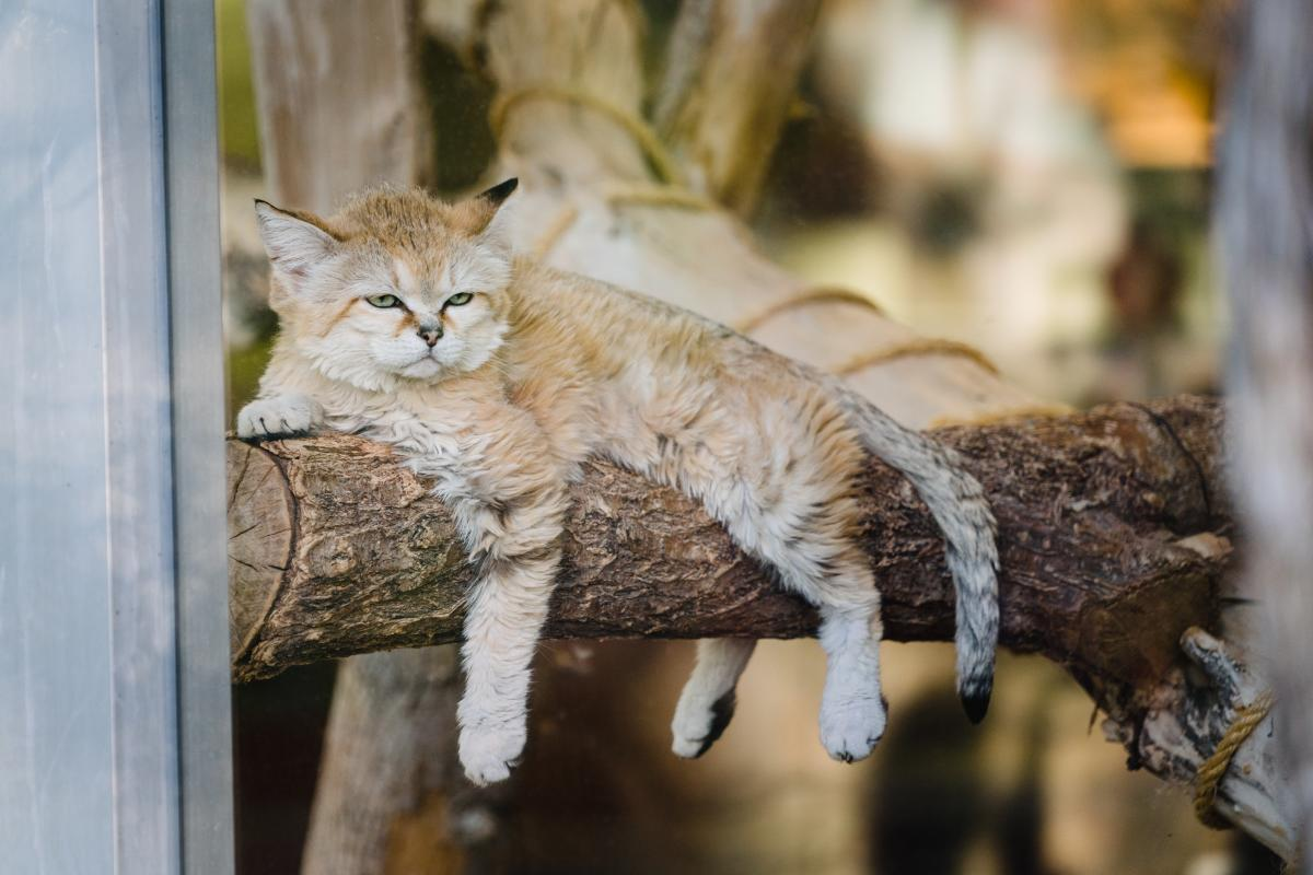 Arabian Sand Cat at Utah's Hogle Zoo