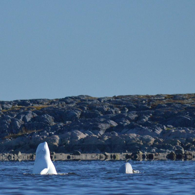 Beluga's breaching near Churchill
