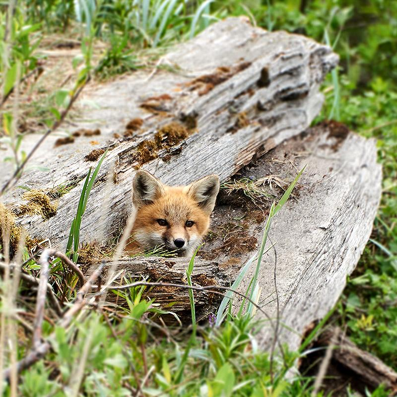 Fox hiding in old fallen tree