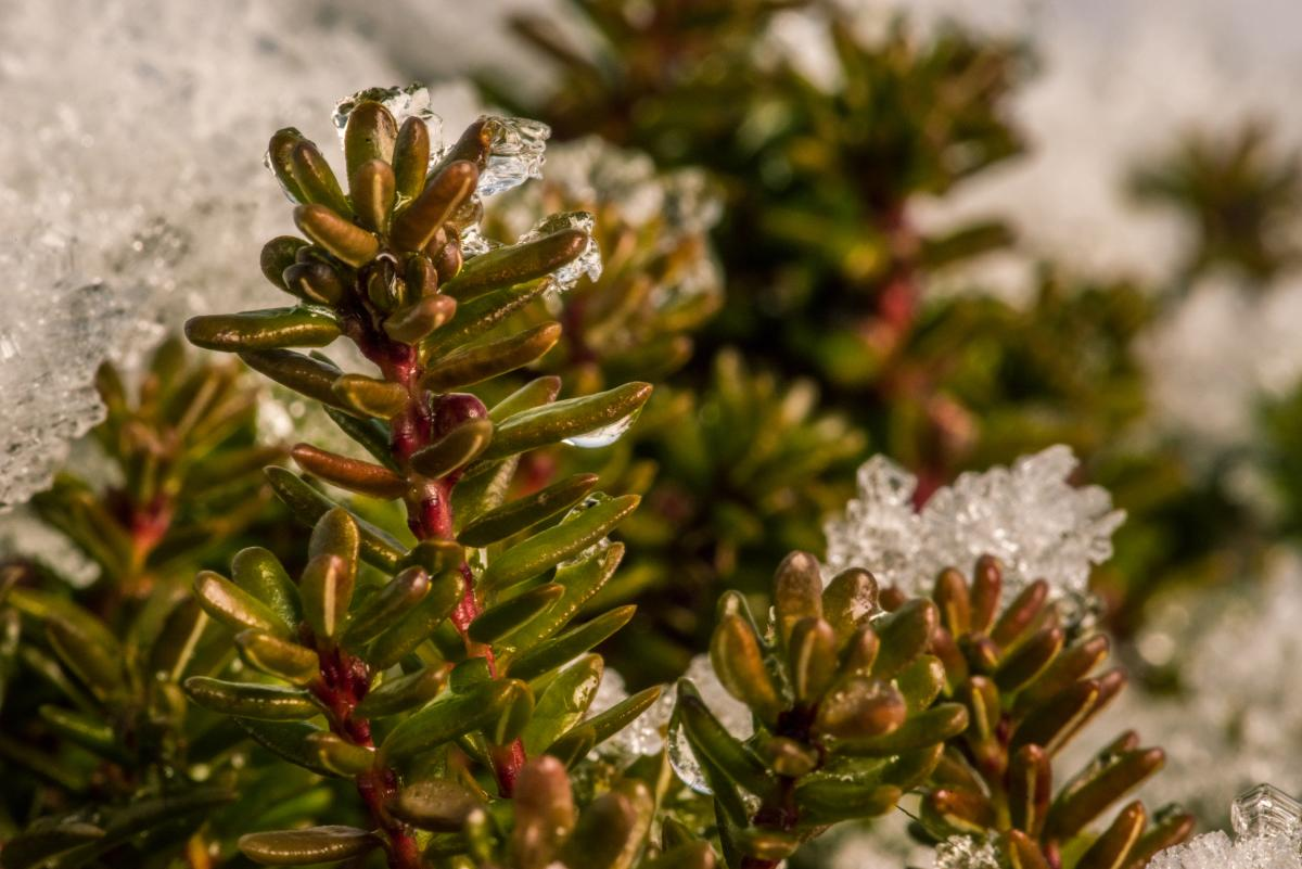 As the snow melts, lyng (also called heather) begins to burst through the gaps announcing that it survived the winter