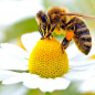 Bees and Pollination