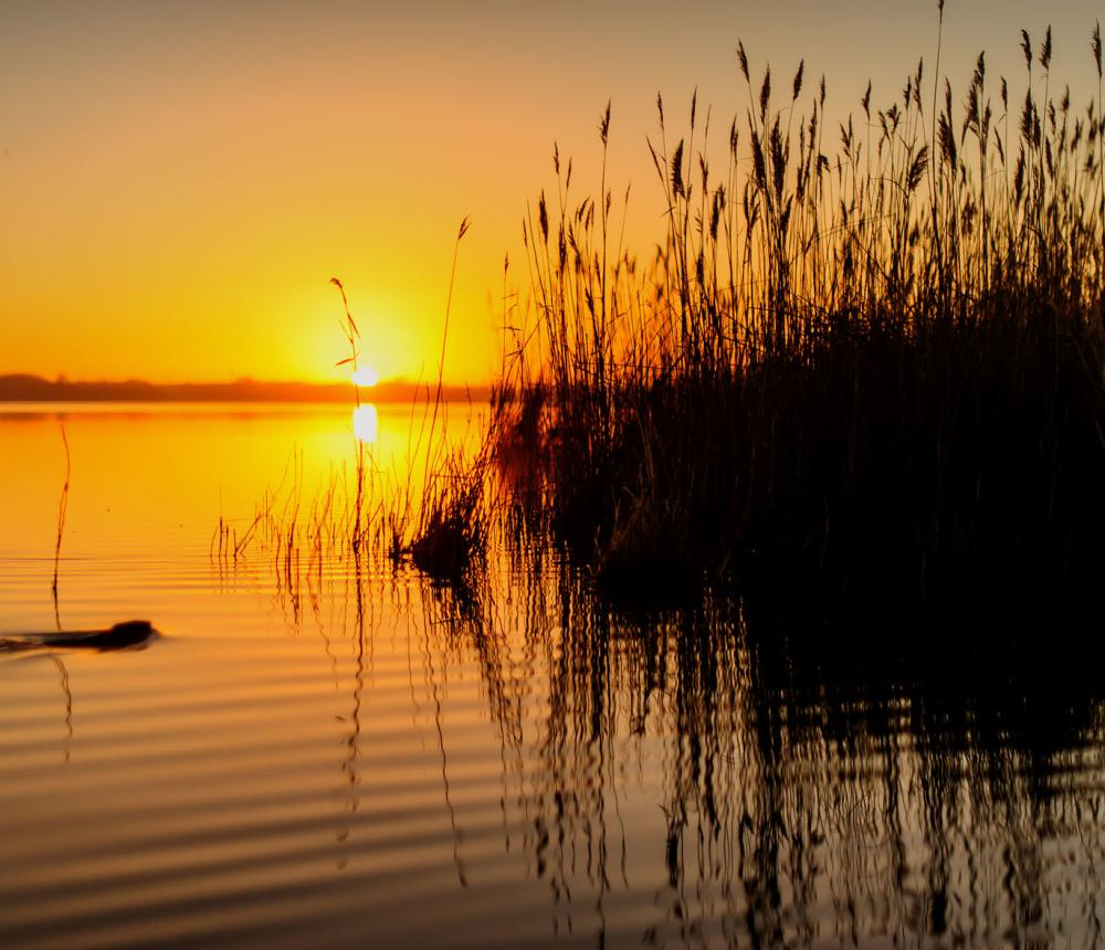 Muskrat at Sunrise  - Back Bay