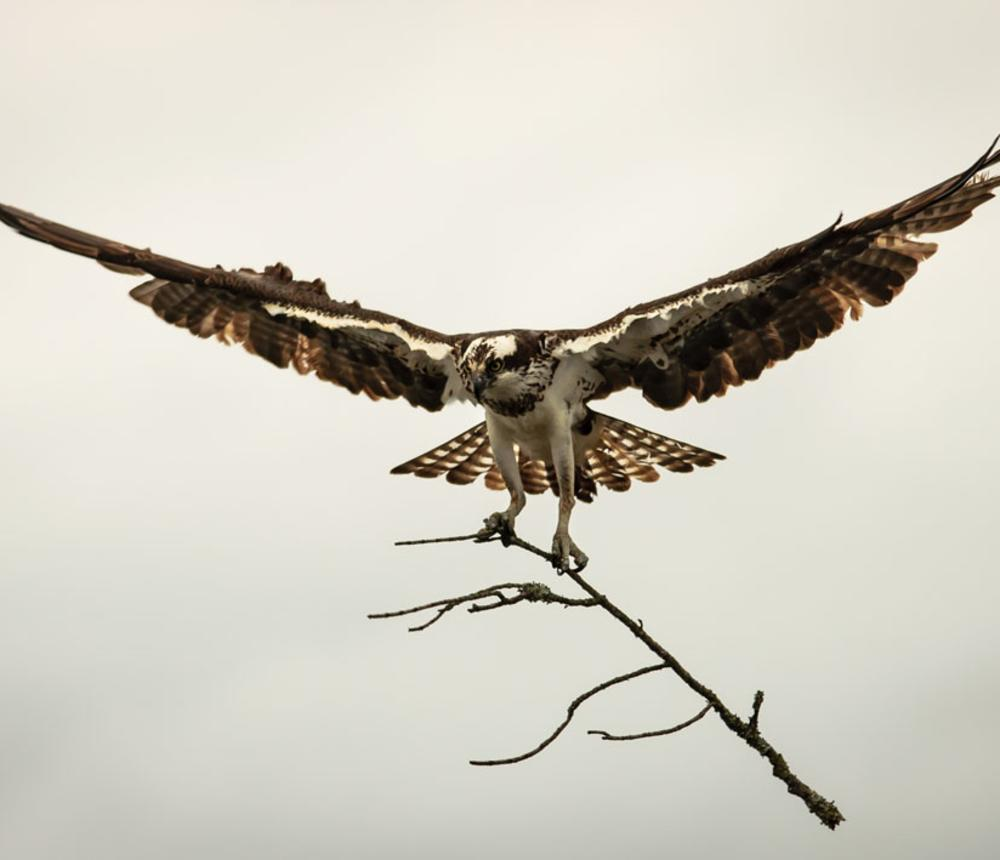 Osprey Nest Building - North Landing River