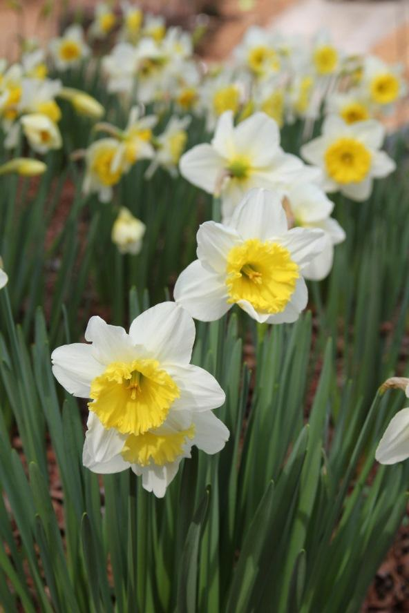 Daffodils in Spring