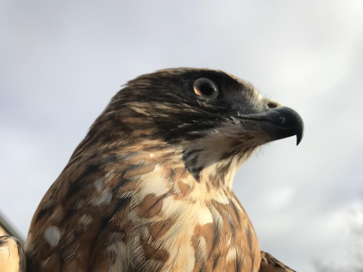 John James Audubon Center Falcon