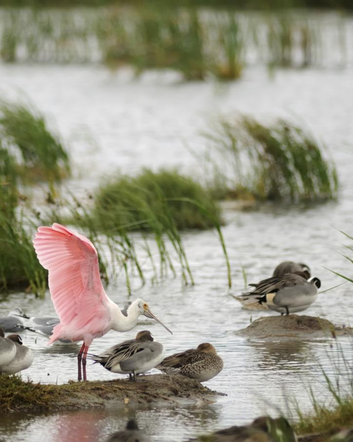 roseate spoonbill with waterfowl