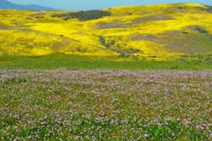 Wildflowers in Slo County