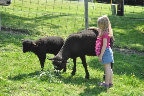 Lambs at Critter Barn in Zeeland, Michigan