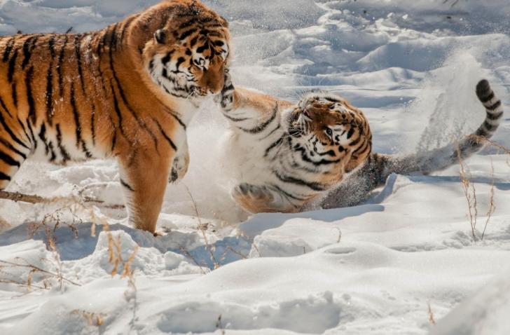 Grand Rapids' John Ball Zoo Tigers playing in the snow