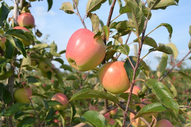Apple trees at Fruit Ridge Hayrides in Kent City