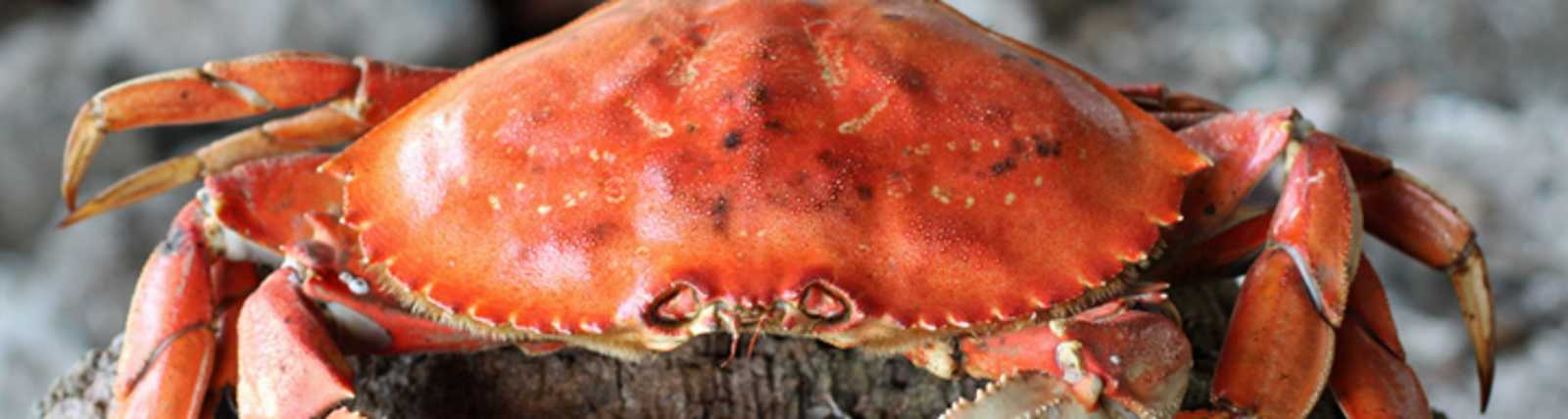 Cooked Whole Dungeness Crab on Rocks by Celeste Stubner