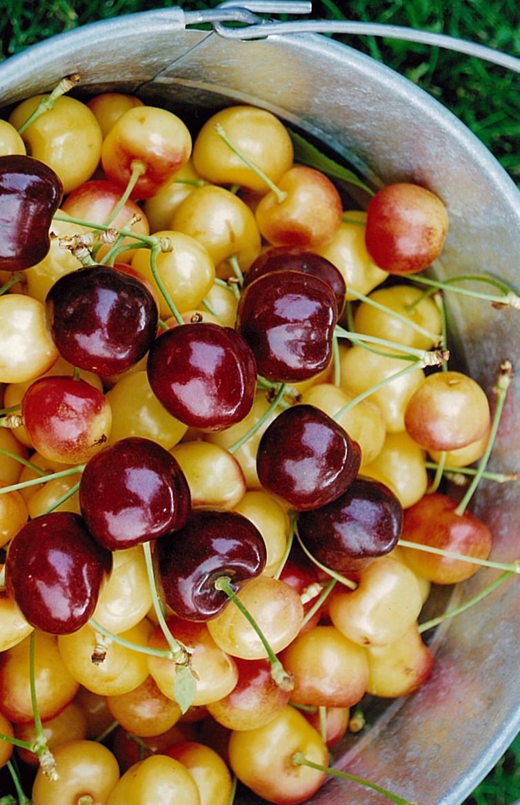 Various Cherries Kempf Orchard - Kelowna