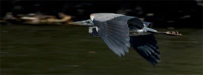 Blue Heron in flight over Esopus