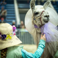 pennsylvania-farm-show-alpaca